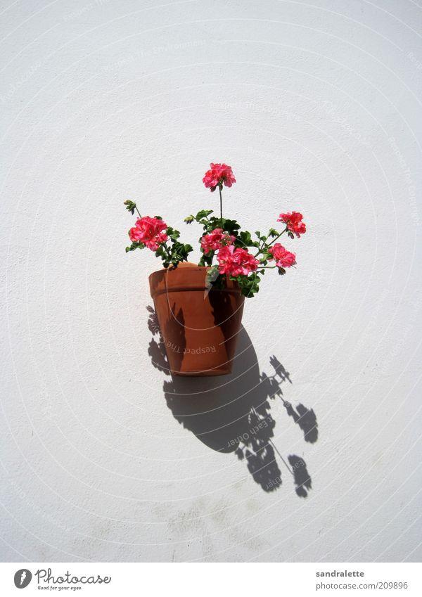 Wallflower weiß Blume Pflanze Sommer Wand Mauer braun rosa Kitsch Idylle Schönes Wetter Klischee Textfreiraum Topfpflanze