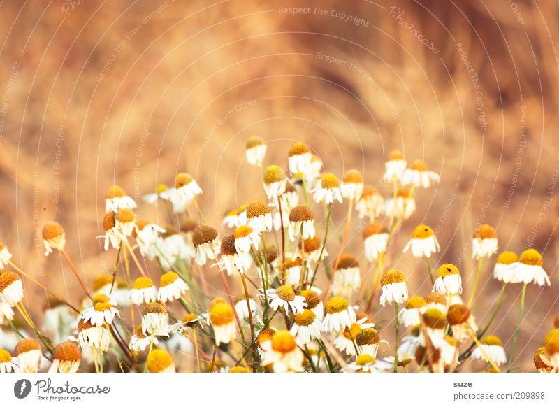 Heile Welt Kräuter & Gewürze Gesundheit Leben Wohlgefühl Duft Natur Pflanze Blume Nutzpflanze authentisch natürlich positiv schön gelb rein Teepflanze Kamille