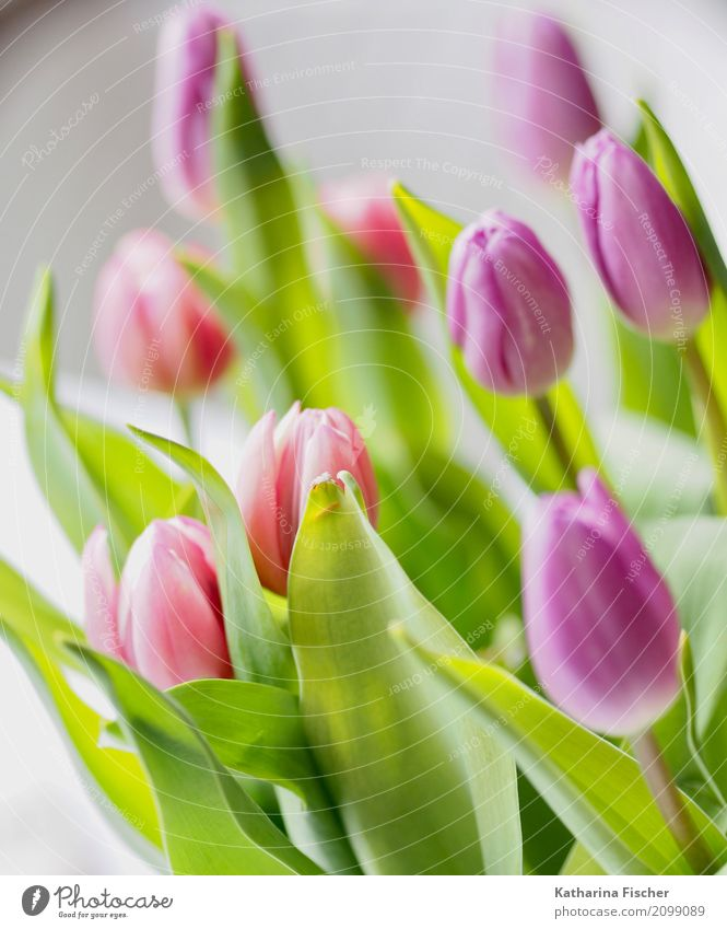 Tulpen Natur Frühling Sommer Pflanze Blume Blühend grün violett rosa rot weiß Blüte Bluemenstrauss Farbfoto mehrfarbig Innenaufnahme Nahaufnahme Menschenleer