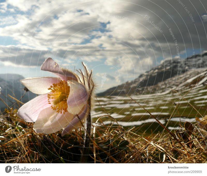 Anemone trägt Pelz Natur Himmel Blume grün Pflanze Wolken gelb Schnee Gras Berge u. Gebirge Frühling Landschaft rosa Umwelt Felsen Schweiz