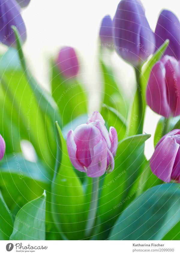 Tulpenstrauß Kunst Natur Pflanze Blume Blühend blau mehrfarbig grün rosa rot türkis Blüte Farbfoto Außenaufnahme Innenaufnahme Studioaufnahme Nahaufnahme