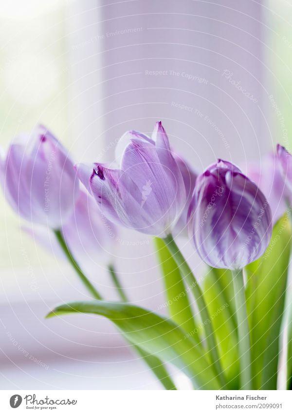 purple tulp Natur Pflanze Blume Tulpe Blatt Blüte Blühend blau grün violett weiß schön Tulpenstrauß Farbfoto Innenaufnahme Nahaufnahme Menschenleer Morgen