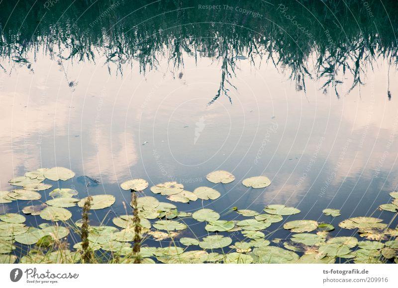 stille Besiedlung Umwelt Natur Landschaft Pflanze Urelemente Wasser Himmel Wolken Blatt Grünpflanze Wasserpflanze Seerosen Seerosenblatt Schilfrohr Röhricht