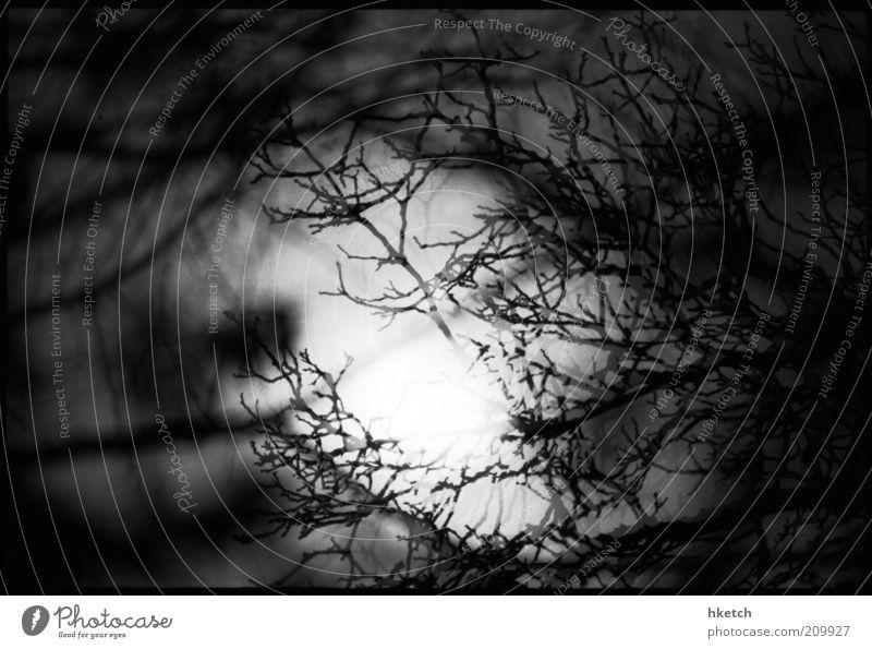 Wer? Wolf? Mond Vollmond Nachthimmel Baum Zweig Schattenspiel Mondsüchtig dunkel gruselig gefährlich Angst Schrecken Schwarzweißfoto Außenaufnahme Menschenleer
