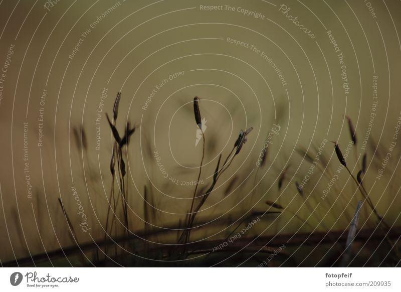 Das kleingedruckte Natur Erde Pflanze Gras braun Stimmung Farbfoto Makroaufnahme Menschenleer Halm Textfreiraum oben natürlich