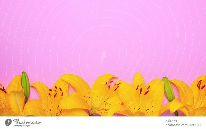 Gelbe Blütenknospen einer Lilie schön Dekoration & Verzierung Ostern Natur Pflanze Blume Blatt Blumenstrauß Blühend frisch hell gelb rosa Lilien Überstrahlung