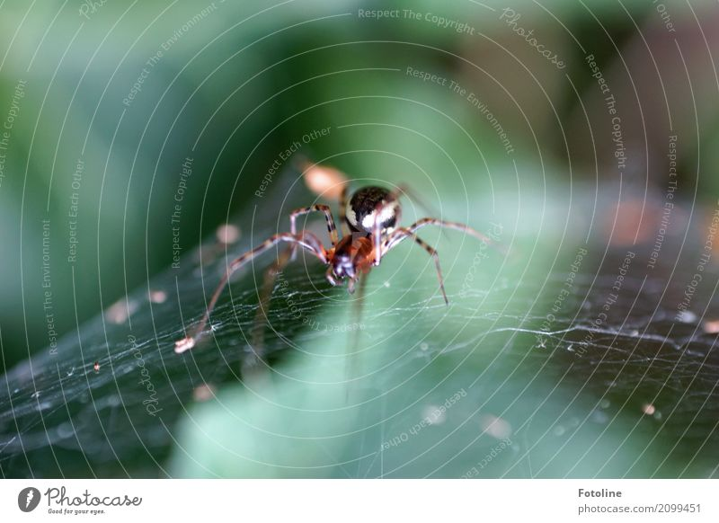 8 Beine! Brrrrrrr! Umwelt Natur Tier Sommer Schönes Wetter Garten Park Wildtier Spinne 1 frei klein nah natürlich braun grün Spinnenbeine Spinnennetz Schnur