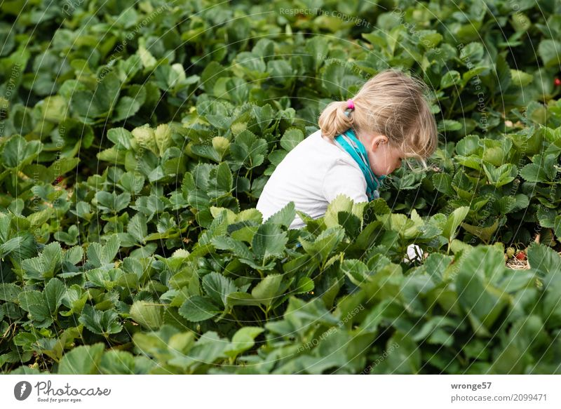 Im Erdbeerfeld II Mensch Kind Kleinkind Mädchen 1 3-8 Jahre Kindheit Pflanze Blatt Nutzpflanze Erdbeeren Feld grün türkis weiß pflücken Ernte Querformat