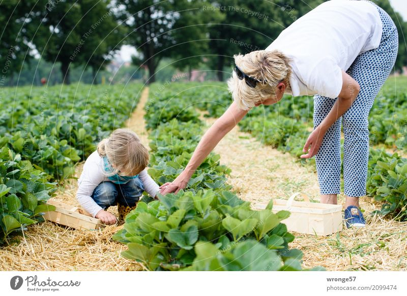 Im Erdbeerfeld Mensch Kind Frau Pflanze blau grün weiß Mädchen Erwachsene natürlich Frucht Feld Kindheit 45-60 Jahre Weiblicher Senior Ernte