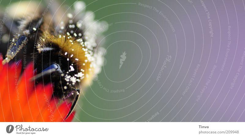 Bombus Biene violett rot schwarz mehrfarbig Hummel Insekt saugen Nahrungssuche Blüte Honig Pollen fleißig Sommer nützlich Imme Farbfoto Außenaufnahme