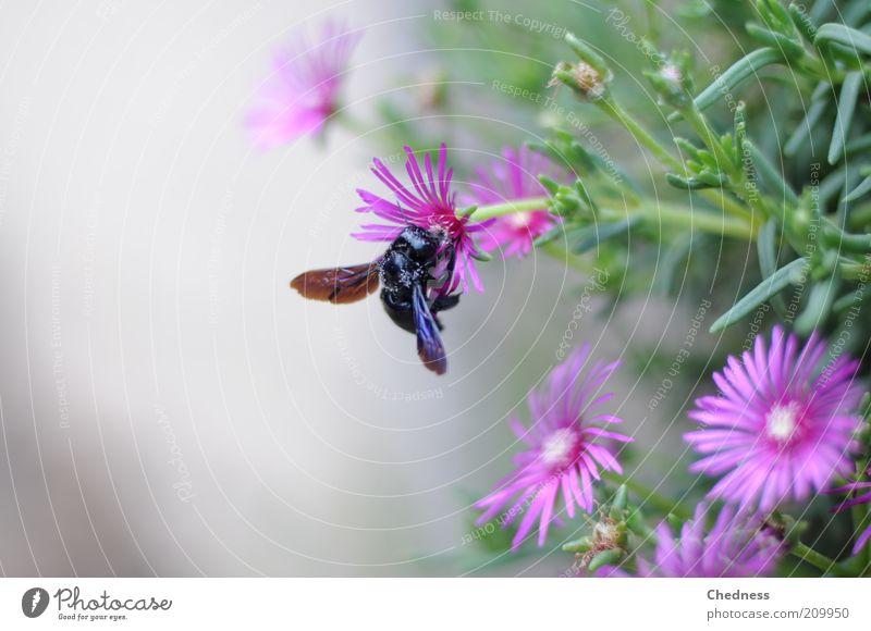 Insekt Natur schön Blume Pflanze Sommer Tier Blüte Bewegung rosa Fliege süß violett Insekt natürlich Idylle Blühend