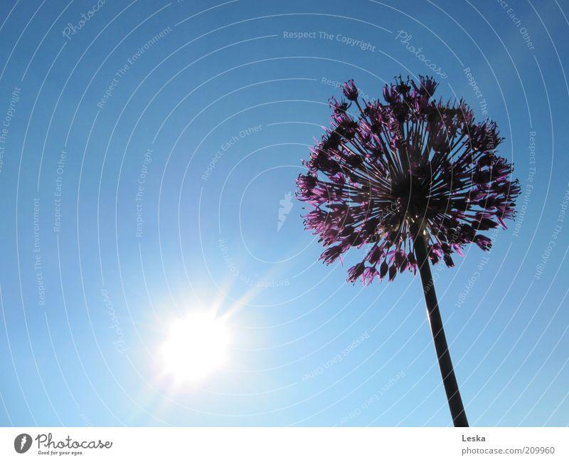 Shine on me Himmel Wolkenloser Himmel Sonne Sonnenlicht Sommer Pflanze Blüte blau violett schwarz weiß Blume Porree mehrfarbig Außenaufnahme Tag Sonnenstrahlen