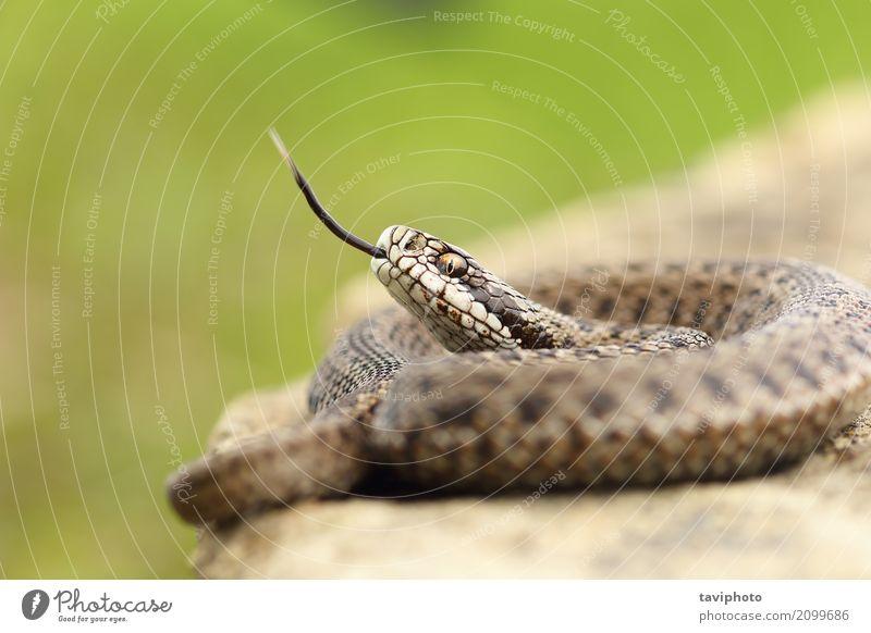 Aggressive Ungarische Wiesenotter schön Jugendliche Natur Tier Schlange wild braun Angst gefährlich Farbe Europäer angriffslustig Gefahr giftig Zunge