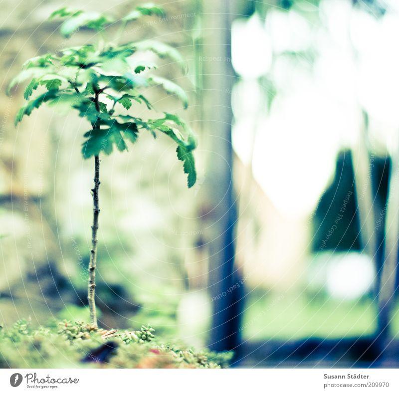 Miniturbäumchen Natur Baum grün Sommer Blatt klein Wachstum natürlich Baumstamm Gartenbau Grünpflanze Miniatur Japanisch Bonsai Wildpflanze Unkraut