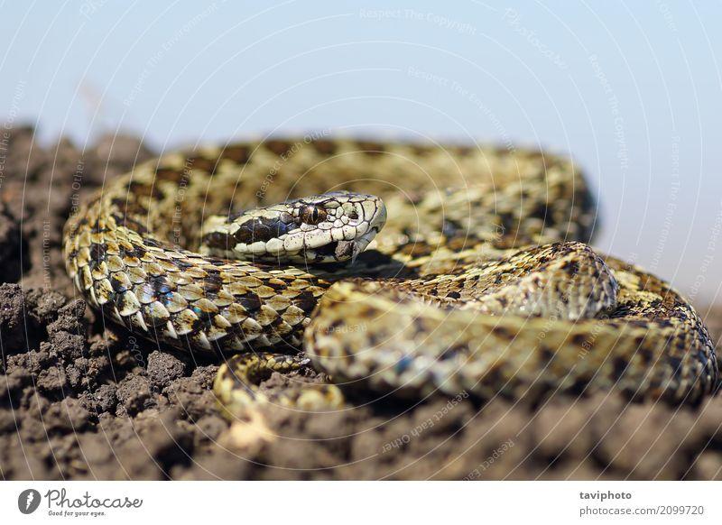 männliche Wiesenviper, die auf dem Boden sich aalt schön Natur Tier Schlange wild braun Angst gefährlich Vipera Natter selten ursinii Europäer Zoologie