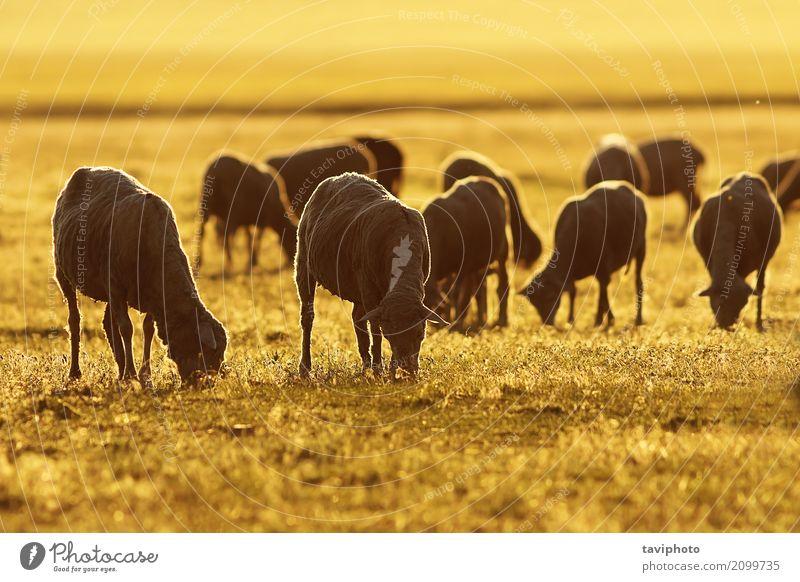 Schafherde im Sonnenaufgang orange Licht schön Ferien & Urlaub & Reisen Sommer Natur Landschaft Tier Gras Wiese Herde Fressen natürlich niedlich grün Farbe