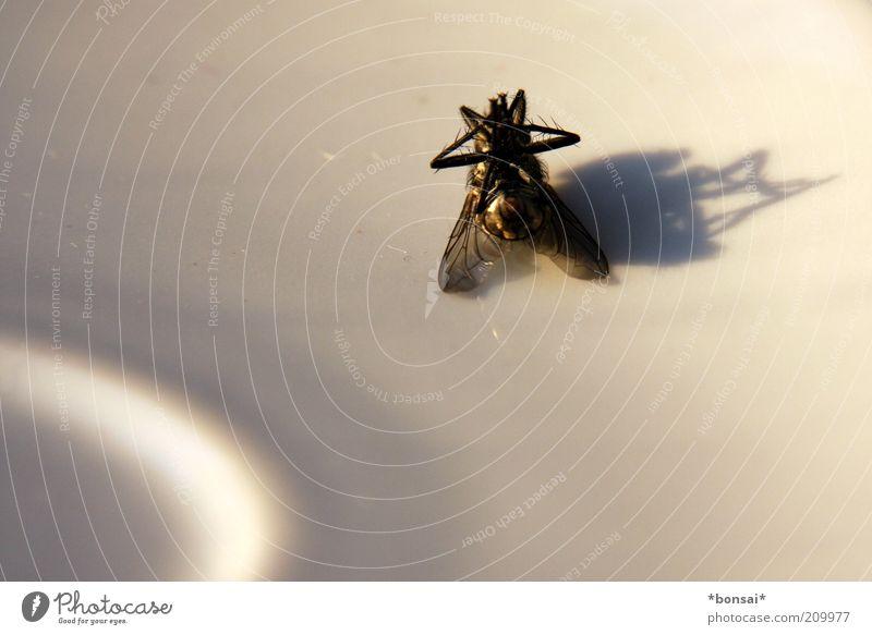 todesschatten Natur alt weiß ruhig schwarz Tier Tod klein Fliege nah kaputt Ende liegen Flügel Vergänglichkeit