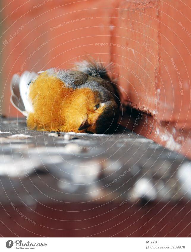 Bird Mauer Wand Tier Wildtier Totes Tier Vogel Flügel 1 Traurigkeit Trauer Tod Natur Feder Farbfoto mehrfarbig Außenaufnahme Nahaufnahme Textfreiraum oben