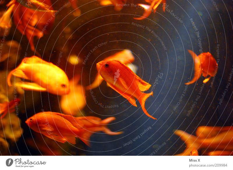 Goldfischstäbchen Wasser Tier gelb klein gold Fisch Aquarium Goldfisch Schwarm Korallenriff