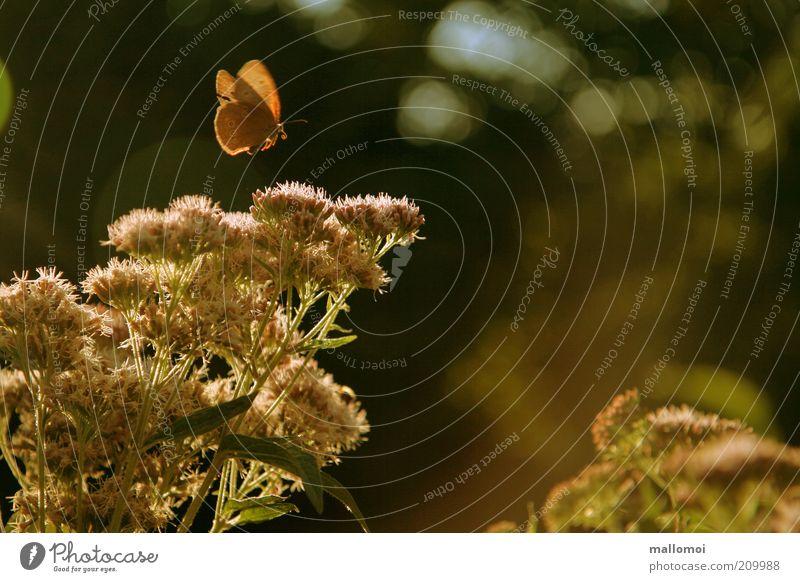 märchenstunde harmonisch ruhig Umwelt Natur Pflanze Tier Sonnenlicht Sommer Sträucher Blüte Flügel Schmetterling Erholung fliegen träumen Duft Wärme