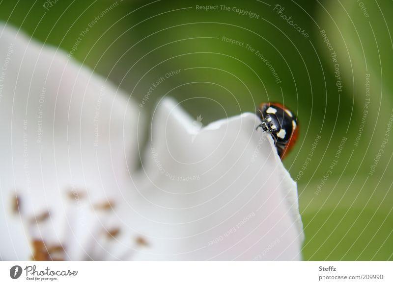 Marienkäfer auf einem Blütenblatt Glück Glücksbringer Glückskäfer Quittenblüte Blütenkelch blühen Käfer Mai Frühlingstag niedlich Frühlingsblume dezent nah