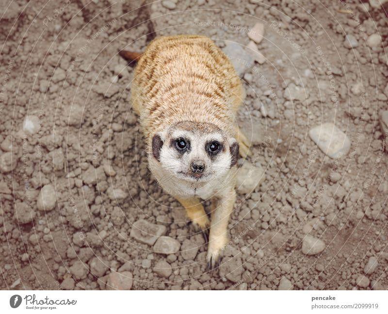 noch fragen? Urelemente Erde Wildtier Zoo 1 Tier beobachten Beratung Lächeln Blick Erdmännchen Stein Auge Fragen Farbfoto Gedeckte Farben Außenaufnahme