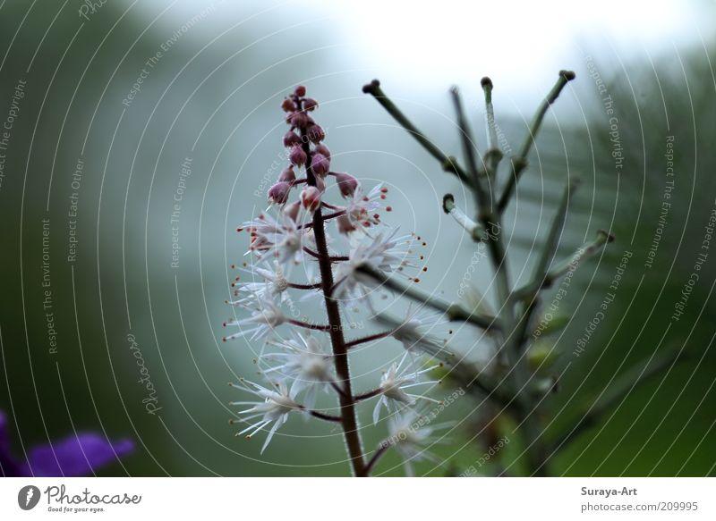 Morgenblüte Sommer Natur Pflanze Blüte Topfpflanze Blühend Duft Wachstum natürlich ästhetisch bizarr einzigartig zartes Grün rosa weiß Nahaufnahme Farbfoto