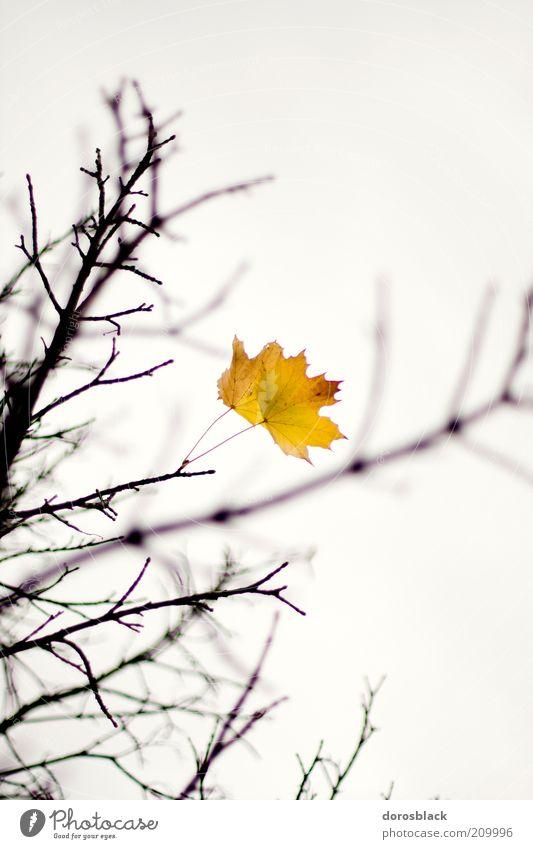 herbst Natur Wolkenloser Himmel Herbst schlechtes Wetter Blatt kalt gelb Baum Ast Zweig Farbfoto Gedeckte Farben Außenaufnahme Menschenleer Textfreiraum oben