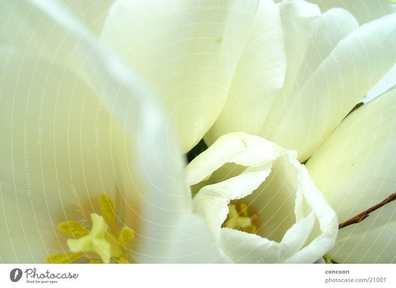 Klar, rein & frisch weiß Blume Blatt Blüte frisch neu rein Klarheit Blütenblatt