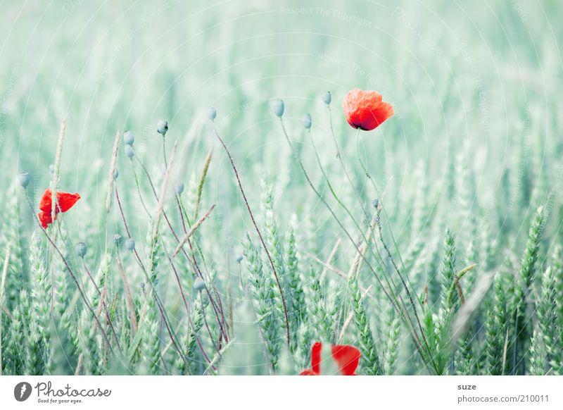 Applaus Getreide Sommer Natur Pflanze Blume Blüte Feld Wachstum natürlich grün rot Mohn Klatschmohn Punkt Mohnblüte Schwache Tiefenschärfe hell Kornfeld Weizen