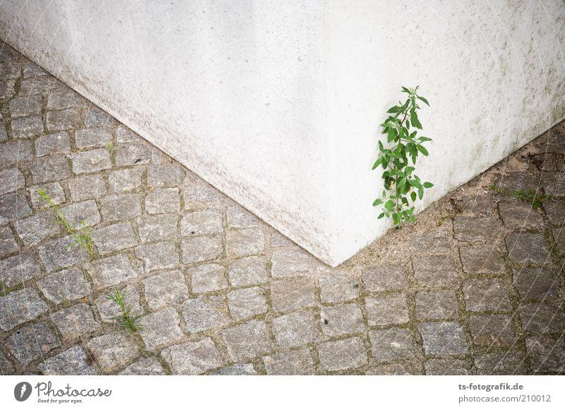 Durchsetzungskraft Umwelt Natur Pflanze Blume Sträucher Grünpflanze Wildpflanze Pflastersteine Pflasterweg Betonklotz Betonkübel Straße Wege & Pfade Stein Linie