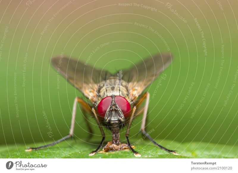 Fly Natur Tier Fliege 1 Fressen klein braun gelb grün rot Augen Beine Facetten Insekt Kopf Portrait Wildlife frontal Farbfoto Außenaufnahme Makroaufnahme