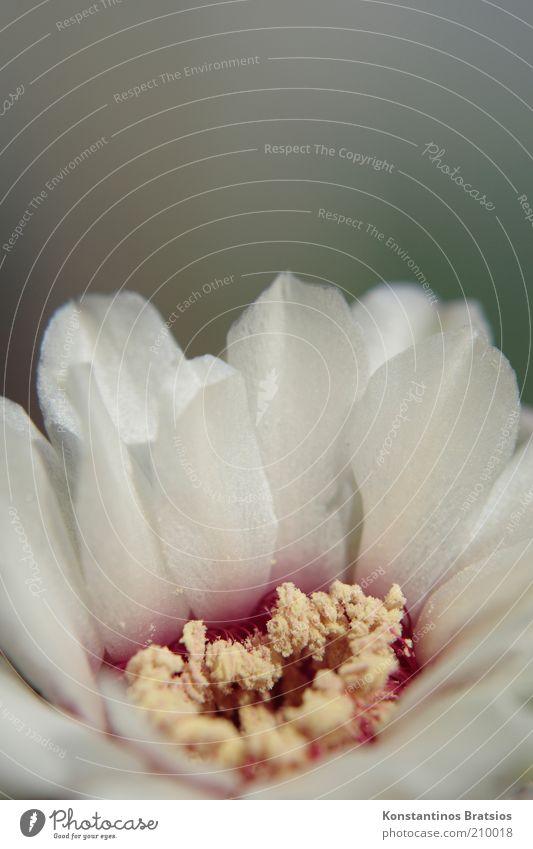 Kakteenblüte Pflanze Kaktus Blüte Blühend schön klein nah gelb rot weiß Pollen weich Hochformat zart sensibel Farbfoto Gedeckte Farben Außenaufnahme Nahaufnahme