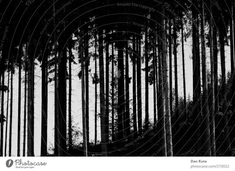 Strich in der Landschaft Natur schwarz Wald dunkel ästhetisch Wachstum dünn Hügel Tanne Baumstamm bizarr Zusammenhalt vertikal Präzision abstrakt Schwarzweißfoto