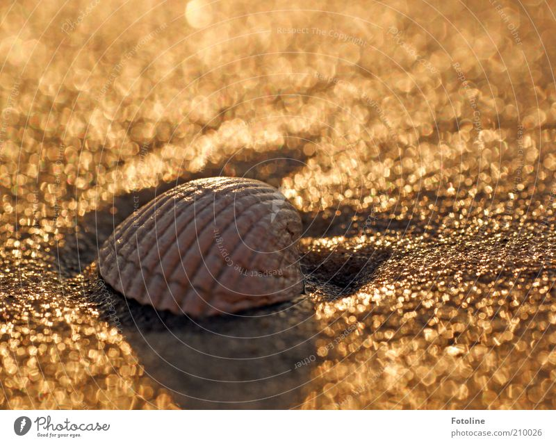 eingemuschelte Muschel Umwelt Natur Tier Urelemente Erde Sommer Küste Strand Ostsee Meer hell nass natürlich braun gold Muschelschale Herzmuschel Farbfoto