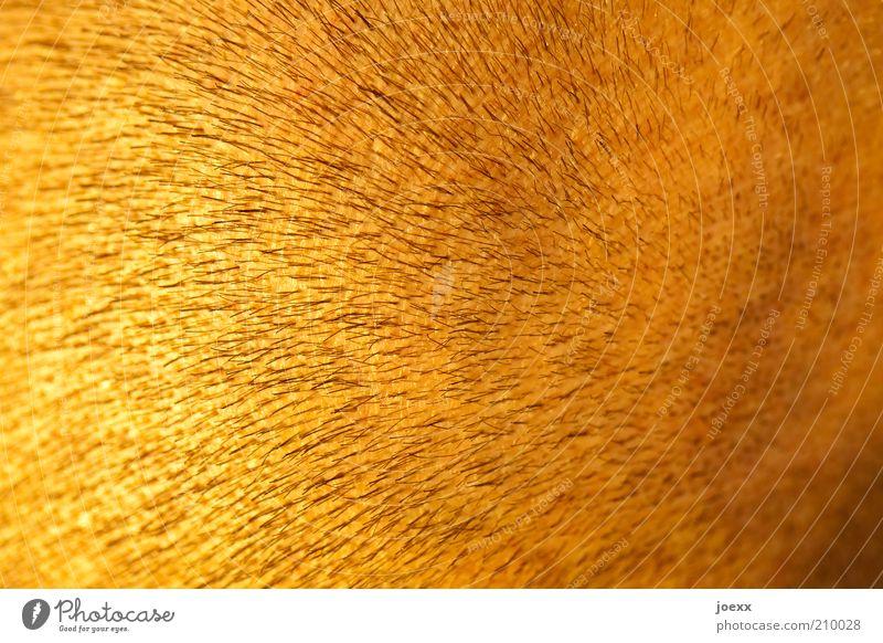 Goldköpfle Mann gelb Haare & Frisuren Erwachsene Haut gold Haarschnitt kurzhaarig Stoppel Mensch rasiert