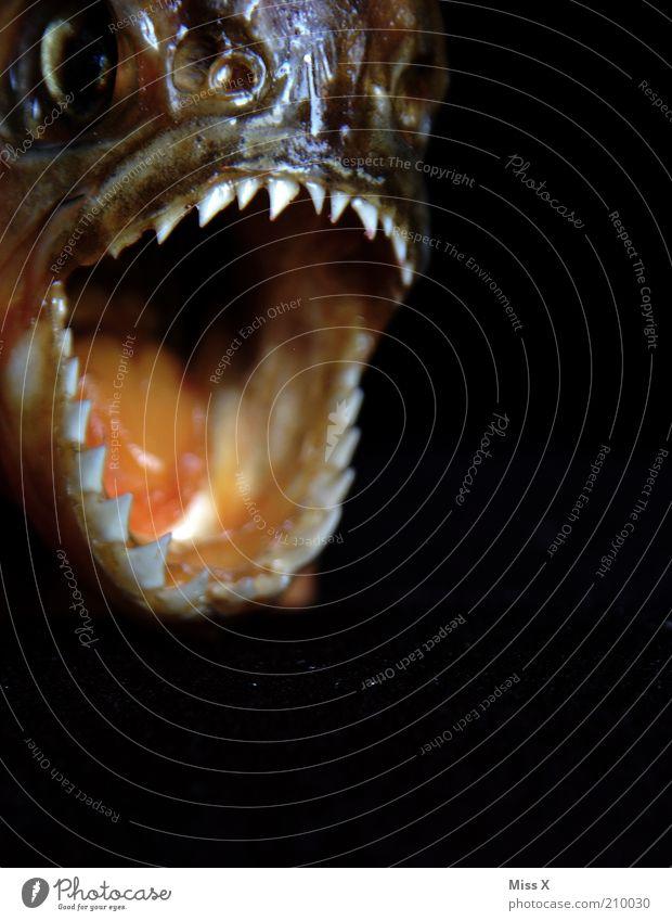 Alien Tier Wildtier Totes Tier Fisch 1 Fressen schreien bedrohlich dunkel hässlich Angst Todesangst Wut Ärger Aggression Gebiss Piranha beißen bissig Farbfoto