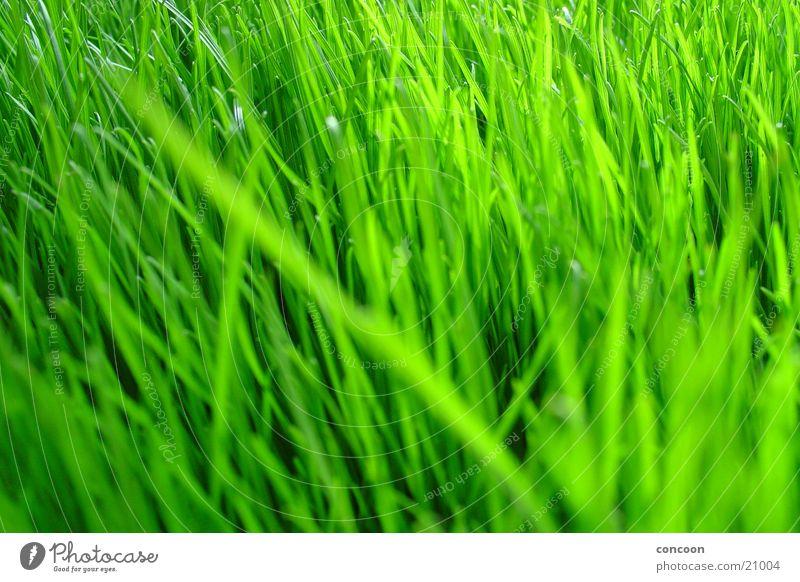 Natural Green Gras grün unbearbeitet Pflanze intensiv voluminös Frühling frisch Rasen Farbe Makroaufnahme Klarheit