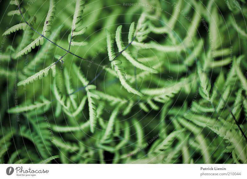 Durcheinander Umwelt Natur Pflanze Sommer Farn Blatt Wildpflanze beobachten genießen Blick ästhetisch dunkel elegant schön natürlich Farbfoto Außenaufnahme