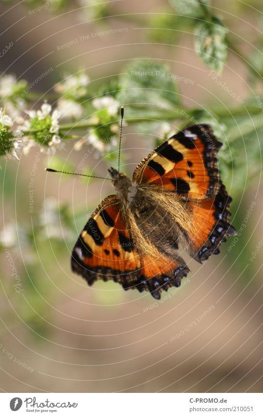 Kleine Fuchs Tier Schmetterling 1 braun mehrfarbig gelb schwarz Kleiner Fuchs Nymphalis urticae Flügel Fühler Farbfoto Außenaufnahme Tag Licht