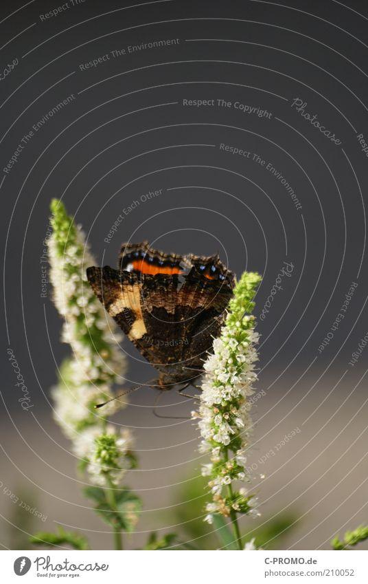 Kleine Fuchs II weiß grün Pflanze Tier Blüte Gras sitzen Flügel Schmetterling Fühler Kleiner Fuchs