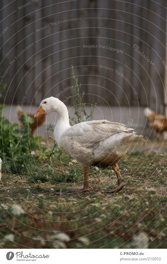 gans schnell weg... Tier Haustier Gans 1 laufen Bauernhof Scheune Geflügelfarm Biologische Landwirtschaft bodenhaltung watscheln Farbfoto Gedeckte Farben
