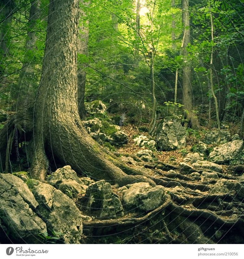 über stock und stein Natur alt Baum grün Pflanze Blatt Wald dunkel Stein Wege & Pfade Landschaft Angst Umwelt Felsen Wachstum fantastisch