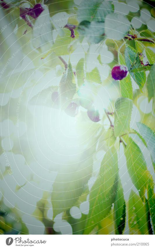 Kirschbaum Baum Pflanze Blatt Blüte Garten Frucht Ernte Kirsche Zweige u. Äste Kirschbaum Wildkirsche