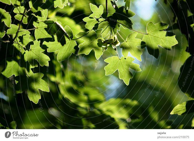 blätterwerk Umwelt Natur Pflanze Baum Blatt Grünpflanze Nutzpflanze Ahorn Ahornblatt Ahornzweig leuchten Wachstum grün ästhetisch Zufriedenheit Blätterdach