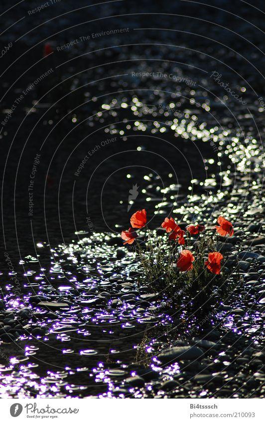 Am Strand von Pleasantville Natur Wasser schön Blume Pflanze Sommer Stein Stimmung glänzend Umwelt Blühend Mohn Seeufer Schönes Wetter Teich