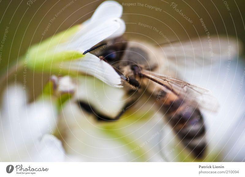 Bee cool! Umwelt Natur Pflanze Tier Sommer Blüte Wildpflanze Nutztier Wildtier Biene Flügel 1 Blühend Duft entdecken schön Farbfoto Außenaufnahme Makroaufnahme
