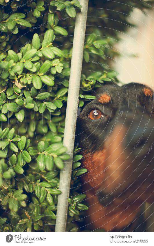 kommst hier nicht rein Natur Pflanze Tier Hund warten Nase Sträucher Tiergesicht beobachten Wachsamkeit Haustier Stab achtsam Grünpflanze bewachen Haushund