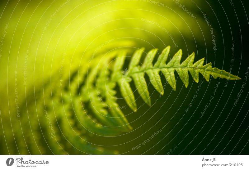 Im Wald Leben harmonisch Pflanze Sträucher Farn Grünpflanze Wildpflanze Gefäßsporenpflanzen Wachstum frisch natürlich weich gelb grün friedlich Gelassenheit