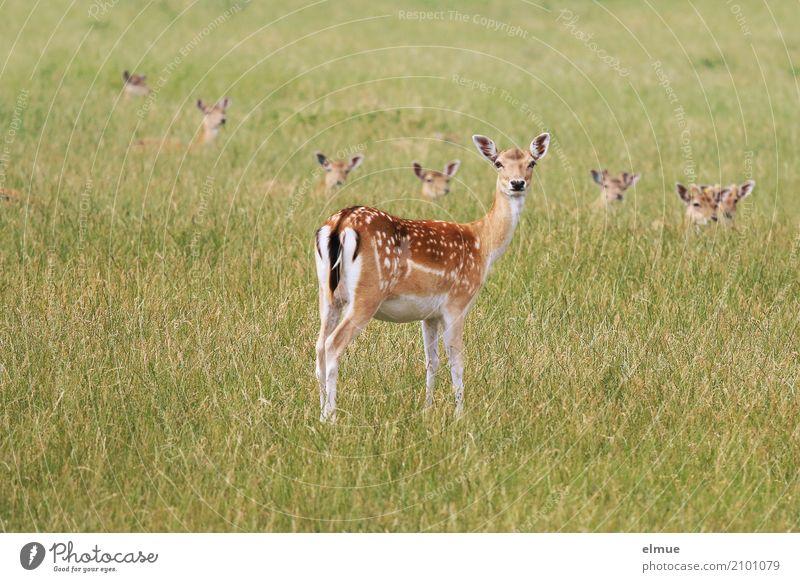 Mutprobe Umwelt Natur Tier Gras Wildtier Damwild Wildfleisch Reh Ricke Sommerfell Ohr Punktmuster Rehbraten Tiergruppe Bambi verstecken beobachten Zusammensein
